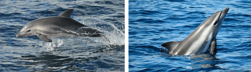 Primer híbrido entre delfín mular y delfín común